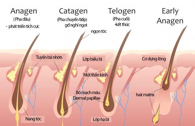 Estrogen và rụng tóc - liên hệ như thế nào? 1